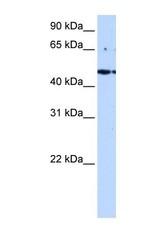NBP1-52980 - STRAD alpha / LYK5