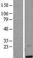NBL1-12754 - LYNX1 Lysate