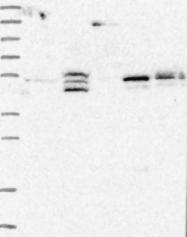 NBP1-92088 - LYPLA3