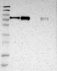 NBP1-90328 - MTDH