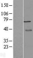 NBL1-13355 - LYRIC Lysate