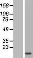 NBL1-12764 - LYRM1 Lysate