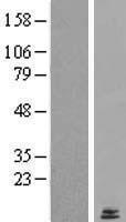 NBL1-12765 - LYRM2 Lysate