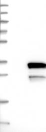 NBP1-81095 - LYSMD1