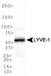 NB100-725 - LYVE-1