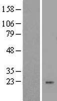 NBL1-12772 - LYZL1 Lysate