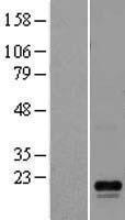 NBL1-12774 - LYZL6 Lysate