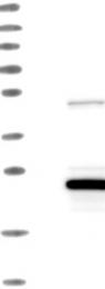 NBP1-81197 - LZIC