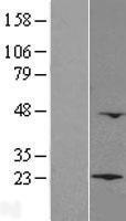 NBL1-12775 - LZIC Lysate