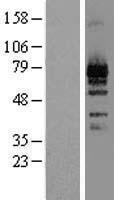 NBL1-12778 - LZTS1 Lysate