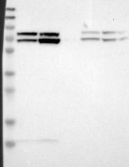 NBP1-85550 - Lamin-A/C (LMNA)
