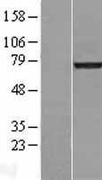 NBL1-12564 - Lamin A Lysate