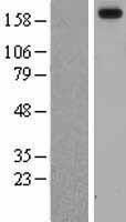 NBL1-12428 - Laminin alpha 3 Lysate