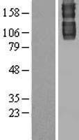 NBL1-12430 - Laminin gamma 1 Lysate