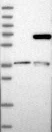 NBP1-88017 - LRRC1