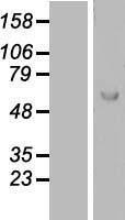 NBL1-12674 - Lano Lysate