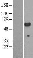 NBL1-12459 - Lck Lysate