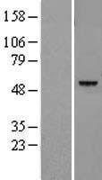 NBL1-12508 - Legumain Lysate