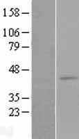 NBL1-12739 - LTB4R2 Lysate