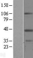 NBL1-12658 - Leupaxin Lysate