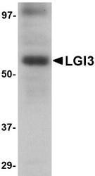 NBP1-76383 - LGI3