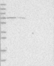 NBP1-85971 - LGI3