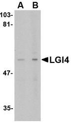 NBP1-76381 - LGI4