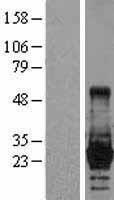 NBL1-12541 - Lin28 Lysate