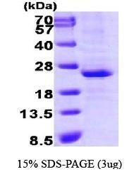 NBP1-30275 - LIN28