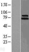NBL1-12545 - Lingo1 Lysate