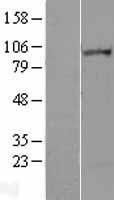 NBL1-12654 - Lipin 2 Lysate