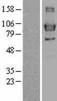 NBL1-12655 - Lipin 3 Lysate