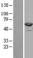 NBL1-09909 - Lipoamide Dehydrogenase Lysate