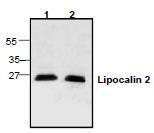 NBP1-45682 - Lipocalin-2