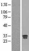 NBL1-12463 - Lipocalin 2 Lysate