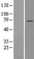 NBL1-12571 - Lnx1 Lysate