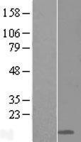 NBL1-12747 - Ly-6D Lysate