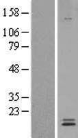 NBL1-12748 - Ly-6E Lysate