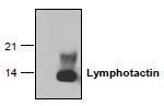 NBP1-45690 - XCL1 / Lymphotactin