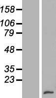 NBL1-17901 - Lymphotactin Lysate
