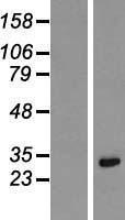 NBL1-12377 - Lysine-rich coiled-coil 1 Lysate