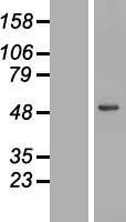 NBL1-12546 - Lysosomal acid lipase Lysate