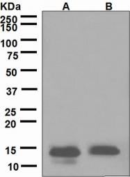 NBP1-95509 - Lysozyme C