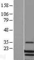 NBL1-12771 - Lysozyme Lysate