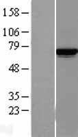 NBL1-12123 - Lysyl tRNA synthetase Lysate