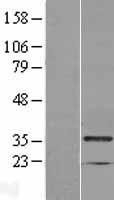 NBL1-12788 - MAD2L1-binding protein Lysate