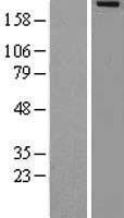 NBL1-12790 - MADD Lysate
