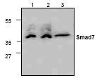 NBP1-45860 - SMAD7