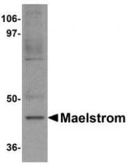 NBP1-77139 - MAEL