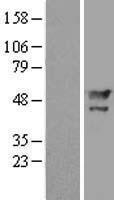 NBL1-12792 - MAEL Lysate